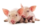 African Swine Flu Not Contagious to Humans