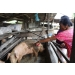 Dangerous!! African Swine Flu Journey on the Four Continents