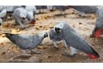 Faithful Friend, African Gray Parrot Has Unique Behavior