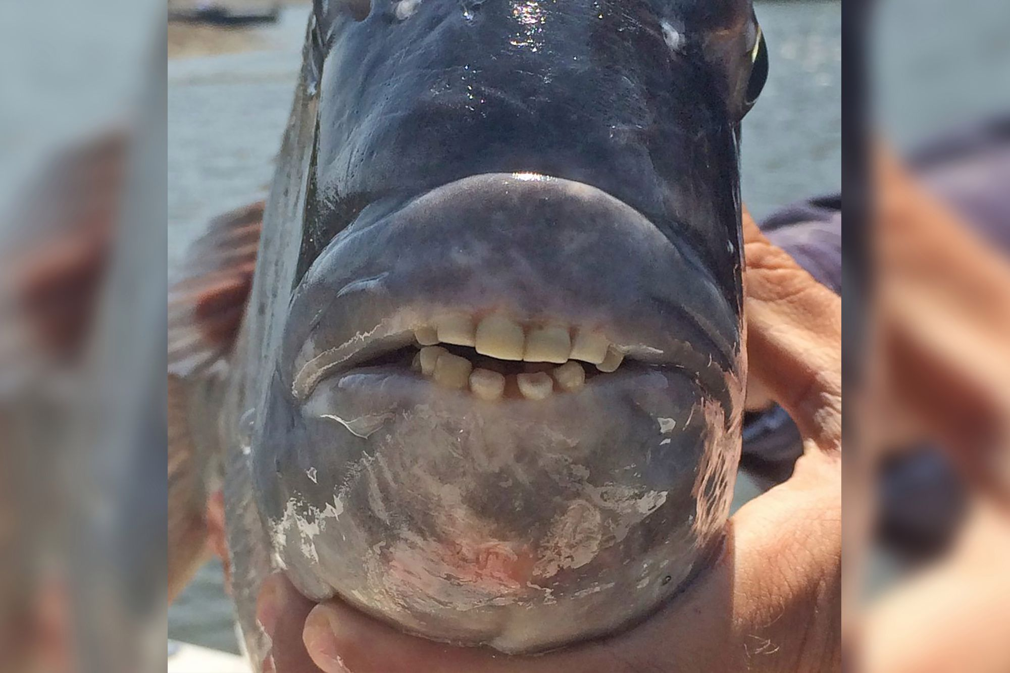 fish with human teeth